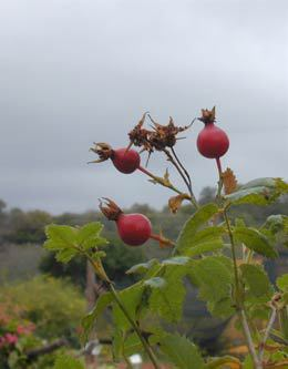 Rosa californica - Rose hips