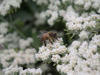 Eriogonum fasciculatum 'Warriner Lytle' with bee