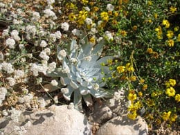Eriogonum parvifolium (left) in a garden with Dudleya brittonii (center) and Viguiera laciniata (right)