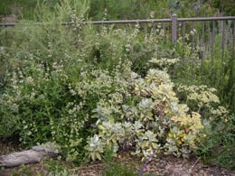 Eriogonum giganteum at the Baginsky residence