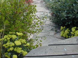 Eriogonum umbellatum yellow flowers along garden path, with Arctostaphylos 'Howard McMinn'