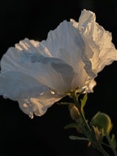 matilija poppy sunlit
