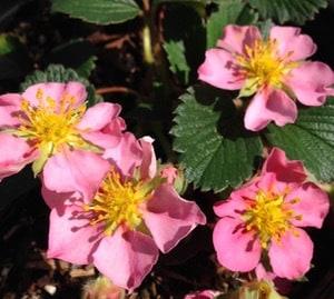 Pink hybrid strawberry