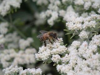 Eriogonum fasciculatum 'Warriner Lytle' with bee