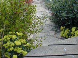 Eriogonum umbellatum yellow flowers along garden path, with Arctostaphylos 'Howard McMinn'