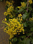 Mahonia 'Golden Abundance'